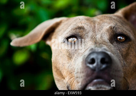 Captivating close up portrait brown Pitbull head, one floppy ear - Stock Photo