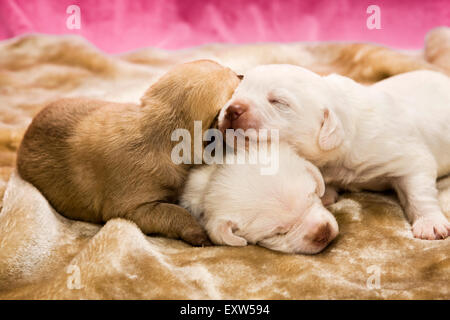 Three one week old puppies asleep on top of each other - Stock Photo