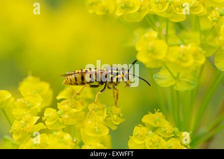 Close-up of a common wasp on a cypress spurge - Stock Photo