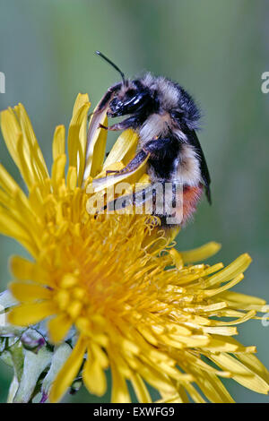 Bumblebee feeding on dandelion flower - Stock Photo