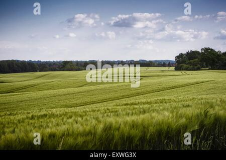 Barley field, Probstei, Schleswig-Holstein, Germany, Europe - Stock Photo