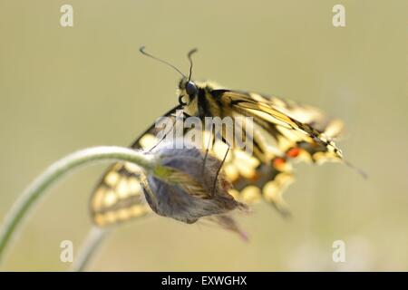Close-up of a Old World Swallowtail (Papilio machaon) - Stock Photo