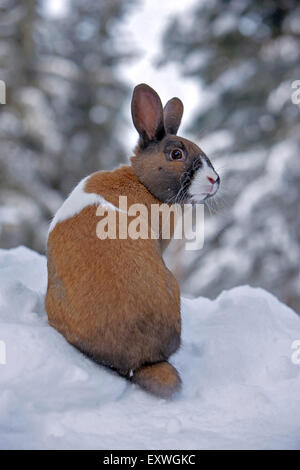 Domestic Rabbit male, sitting in snow - Stock Photo