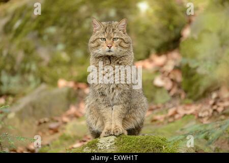 European wildcat (Felis silvestris silvestris) in Bavarian Forest National Park, Germany - Stock Photo