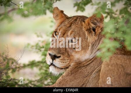 Lioness, Kgalagadi Transfrontier Park, Kalahari, South Africa, Botsuana - Stock Photo