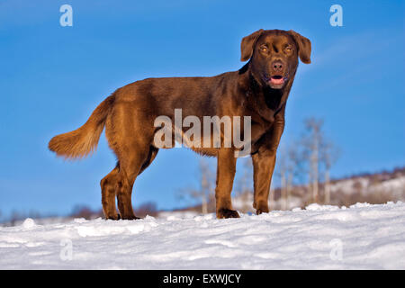 Playful Labrador Retriever standing in snow in meadow - Stock Photo