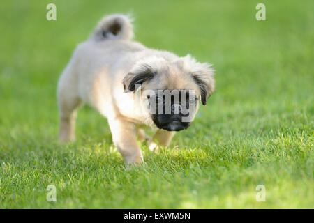 Chug (Chihuahua and pug mix) dog puppy on a meadow - Stock Photo