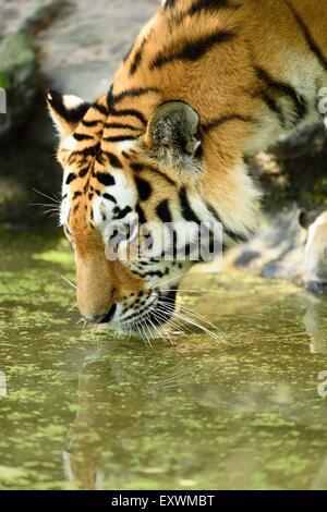 Siberian tiger drinking water, close-up - Stock Photo