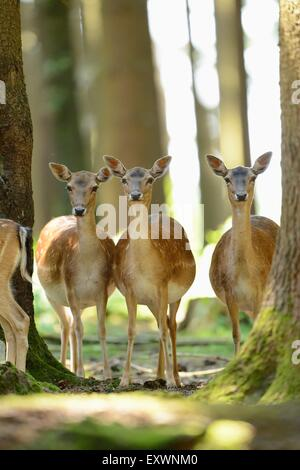 Fallow deer standing in a forest - Stock Photo