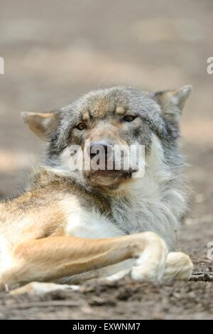 Portrait of a gray wolf - Stock Photo
