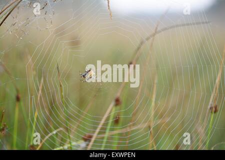 Close-up of a spider in spiderweb with dew - Stock Photo