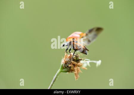 Seven-spot ladybird, Coccinella septempunctata, Upper Palatinate, Bavaria, Germany, Europe - Stock Photo
