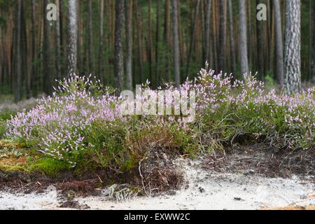 Erica at pine forest in Upper Palatinate, Bavaria, Germany - Stock Photo