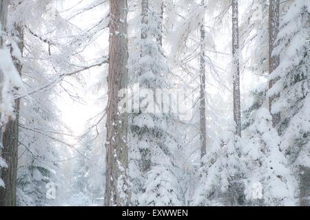 Larches in winter, Mieminger Plateau, Tyrol, Austria, Europe - Stock Photo