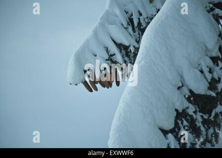 Twig of a spruce with snow, Tyrol, Austria, Europe - Stock Photo