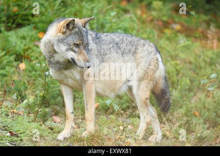 Wolf, Canis lupus, National Park Bavarian Forest, Bavaria, Germany, Europe - Stock Photo