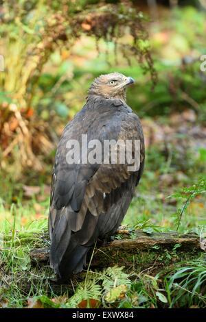 Lesser spotted eagle, Aquila pomarina, Bavarian Forest, Bavaria, Germany, Europe - Stock Photo