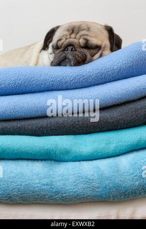 Pug dog lying on blankets - Stock Photo