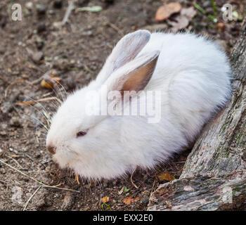 Poland, Silesian Voivodship, Pszczyna (Pless), Pokazowa Zagroda Zubrow, European Rabbit (Oryctolagus cuniculus) - Stock Photo