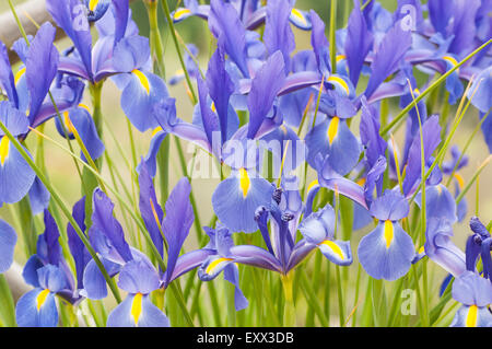 Irises - Stock Photo