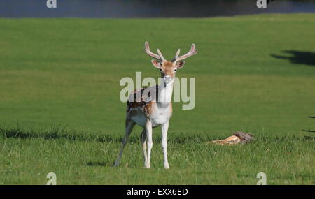 Fallow deer graze  in the park surrounding Chatsworth House (pictured), Peak District Derbyshire England UK - Stock Photo