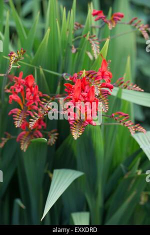 Crocosmia lucifer flowers in an english garden. - Stock Photo