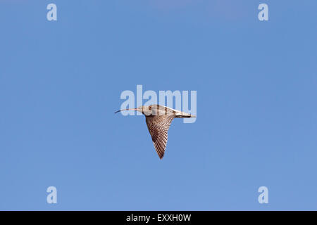 Eurasian curlew (Numenius arquata) in flight against blue sky - Stock Photo