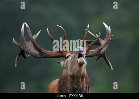 Close up of red deer (Cervus elaphus) stag roaring during the rut in autumn - Stock Photo