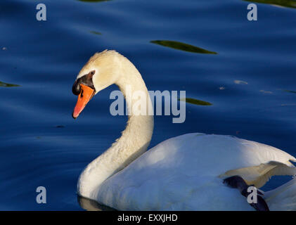 Beautiful close-up of the mute swan swimming in the lake before the sunset - Stock Photo