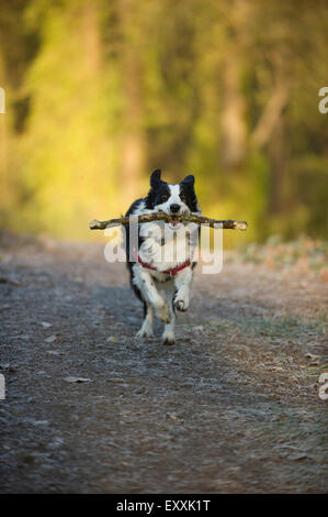 Border Collie running towards the camera with a stick in its mouth - Stock Photo
