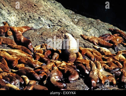 Bull Stellar sea lion and harem,Prince William Sound,Alaska - Stock Photo