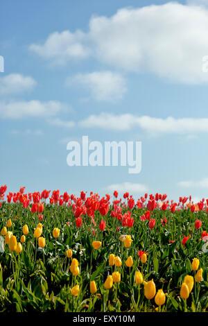 Colorful tulip field, Tulip Fest, Wooden Shoe Tulip Farm, Woodburn, near Portland, Oregon USA - Stock Photo