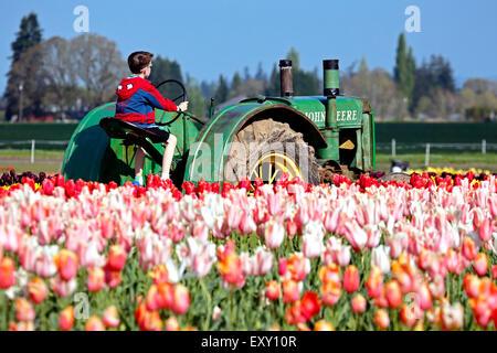 Colorful tulip field and boy sitting on tractor, Tulip Fest, Wooden Shoe Tulip Farm, Woodburn, near Portland, Oregon - Stock Photo