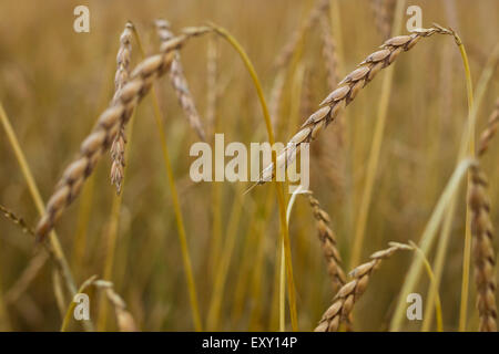Spelt (Triticum spelta), also known as dinkel wheat or hulled wheat is a species of wheat cultivated since 5000 - Stock Photo