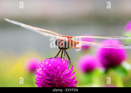 Dragonfly on red flower - Stock Photo