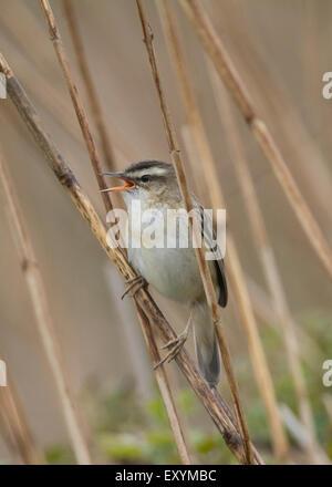 Singing sedge warbler (acrocephalus schoenobaenus) in reed bed, Wales, United Kingdom. - Stock Photo