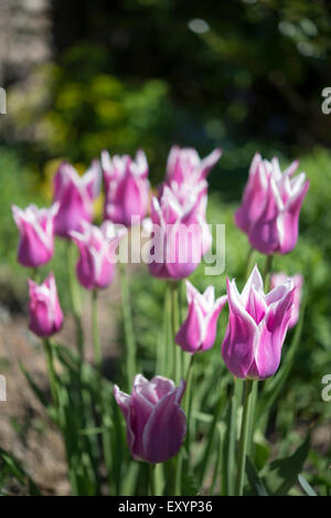 Delightful group of white and pink Tulips in a spring garden. - Stock Photo