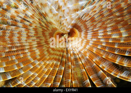 Underwater marine life, radioles and mouth of a magnificent feather duster worm, Sabellastarte magnifica, Caribbean - Stock Photo
