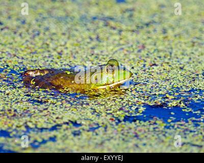 Bullfrog in Pond - Stock Photo