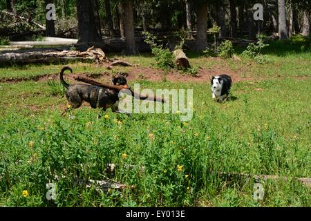 Dog prancing around with huge limb as another dog looks on.  New Mexico - USA - Stock Photo