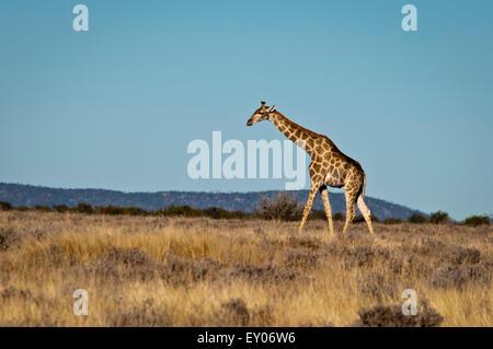 Solitary Giraffe, Giraffa camelopardalis, walking across a grassy plain in Etosha National Park, Namibia, Africa - Stock Photo