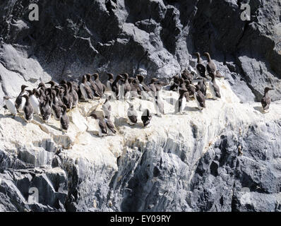 Common Guillemots (Uria aalge) nesting on the south western cliffs of Hirta. - Stock Photo