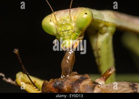 Praying Mantis eating Camel cricket - Stock Photo