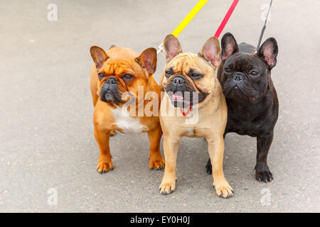 three domestic dogs French Bulldog breed - Stock Photo