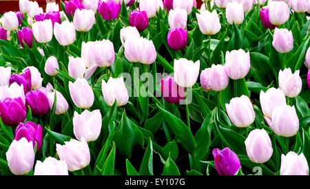 Pink and purple tulip flowers in the park - Stock Photo