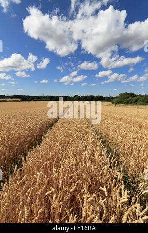 Epsom, Surrey, UK. 19th July, 2015. Fluffy cumulus clouds over a golden field of wheat, ripening in the summer sunshine - Stock Photo