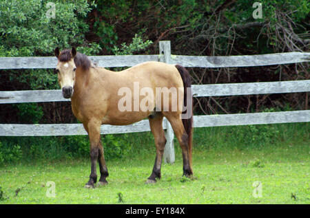 Buckskin Horse with White Star Standing in Green Pasture in the hamptons long island new york - Stock Photo