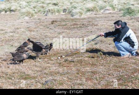 Striated Caracaras (Phalcoboenus australis) playing golf, Falkland Islands; South Atlantic; South America; - Stock Photo
