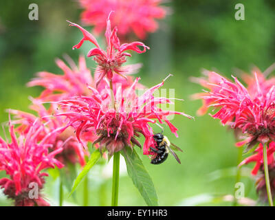 Pollen covered eastern carpenter bee Xylocopa virginica feeds on bee balm Monarda didyma aka bergamot horsemint Oswego - Stock Photo