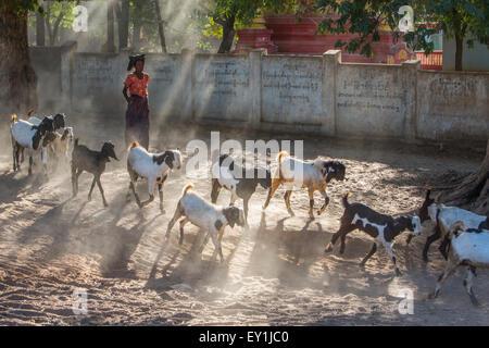 Goat hearding in Salay, Myanmar - Stock Photo